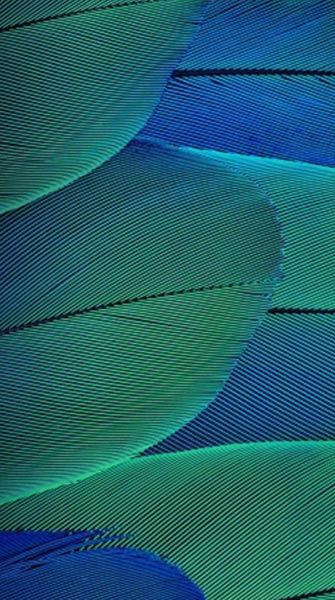 peacock feather 2